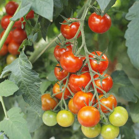 tomates: Tomates creciendo en un invernadero.