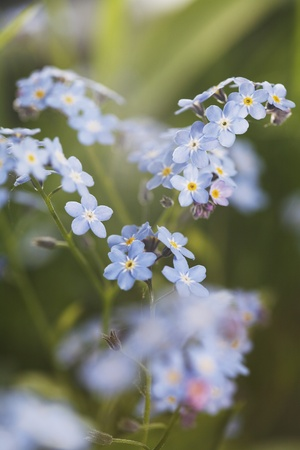 commonly: Myosotis is a genus of flowering plants in the family Boraginaceae  that are commonly called Forget-me-nots.