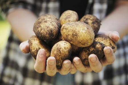 harvests: Farmer holding harvested potatoes in his hands.