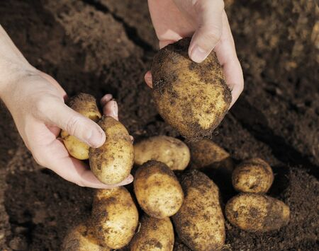 Farmer holding potatoes in his hands. Stock Photo - 11085070
