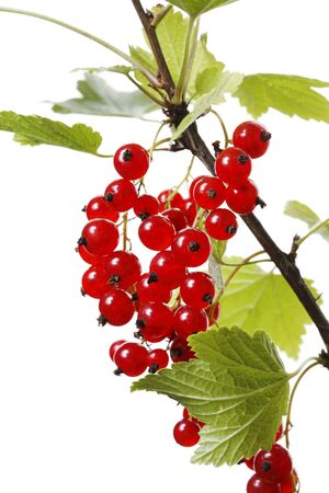 ribes: Redcurrant (Ribes rubrum) berries growing on a branch.
