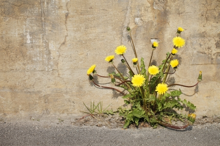 Yellow dandelion flowers growing trough asphalt in sunlight. Stock Photo - 13885421