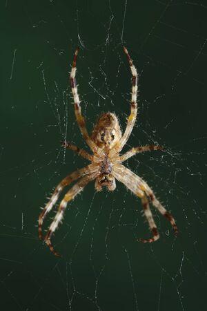 The European garden spider (Araneus diadematus, cross spider).