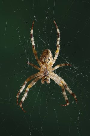The European garden spider (Araneus diadematus, cross spider). photo