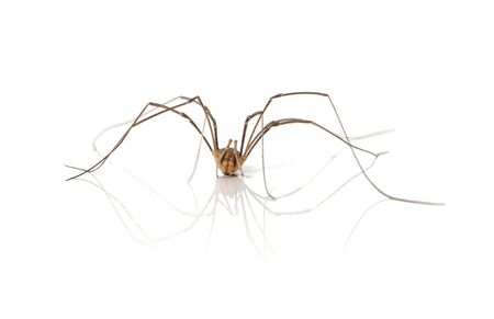 phalangida: A Opiliones spider, aka Daddy Longlegs or Harvestman on white background with reflection.