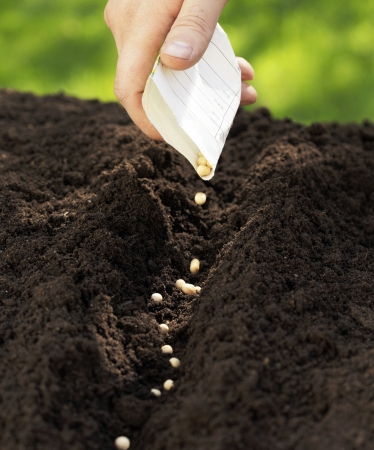 Man sowing sugar peas into the soil.