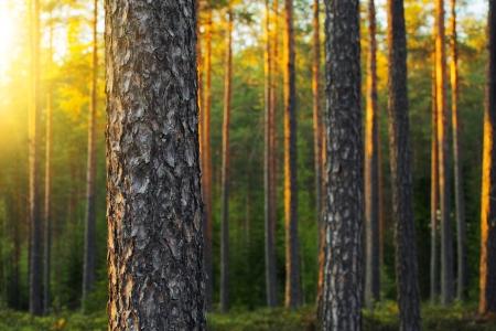 Bosque de pino nórdico en la luz del atardecer. Profundidad de campo corto.