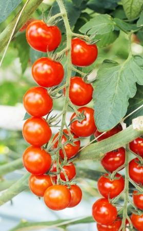 jitomates: Tomates Campari que crece en un invernadero.