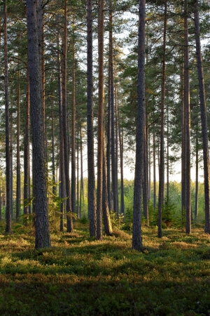 finnish: A Nordic Pine forest in evening light. Stock Photo