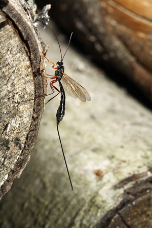 ichneumonidae: Megarhyssa Wasp (Ichneumonidae) insect species. Stock Photo