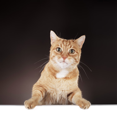 10 year old: Senior 10 year old ginger cat hanging on a blank white board. Stock Photo