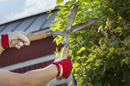 bush trimming: Gloved hands trimming a bush with worn scissors Stock Photo