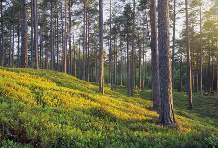 finnish: A Nordic Pine Forest in Evening Light Stock Photo