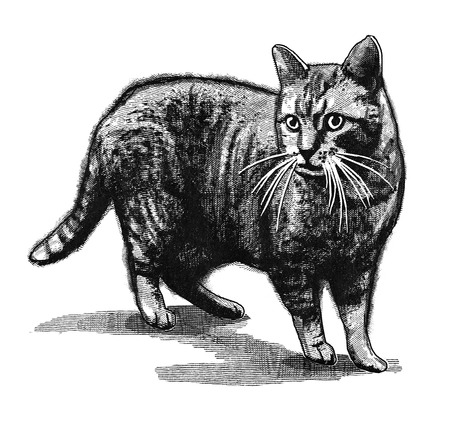 engravings: Original digital illustration of a cat, in style of old engravings.