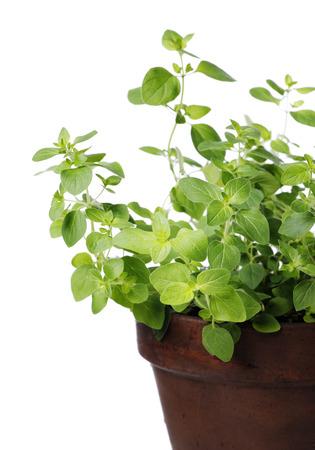 oregano plant: Oregano plant in a clay pot. Short depth of field.