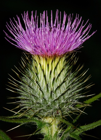 Scotch Thistle in flower Stock Photo