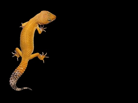 primal: Gecko on a black background with text area great for pet shops