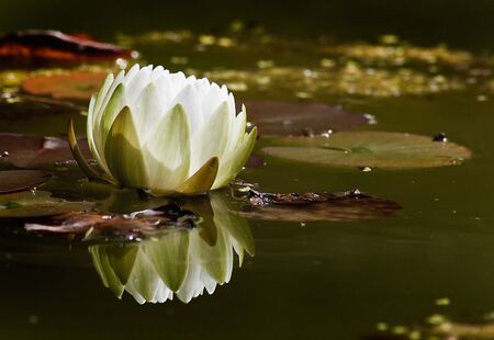 lillies: Water Lily floating on Pond at the park