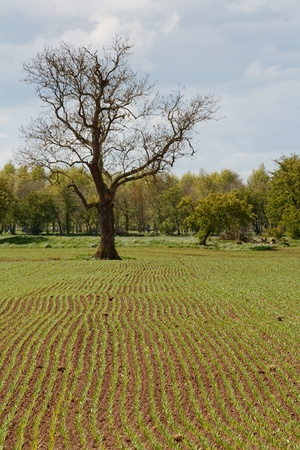 ploughed field: Rows of seeds sprout in agricultural farm field