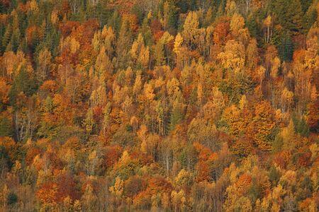 splendour: Trees during the fall in full Autumn splendour, Perthshire, Scotland
