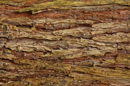 cypress tree: Cypress tree bark background showing relief and texture Stock Photo