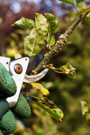 tree trimming: Pruning plants in the garden Stock Photo