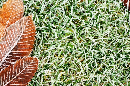 hoar frost: frozen grass background texture with orange frosty leaf for compositional contrast