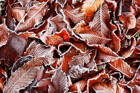 mornings: Brown Frozen leaves background texture symbolizing winter mornings Stock Photo