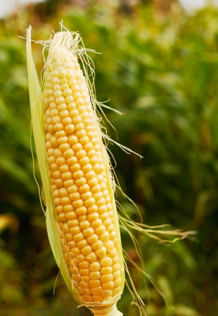 genetically modified: ear of maize or corn a popular farm animal feed or forage now often genetically modified for increased yield. Stock Photo