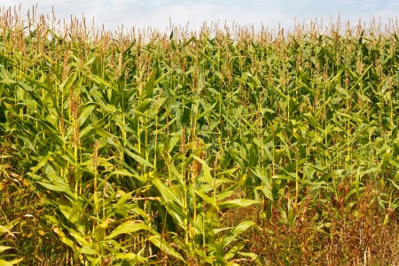 maize cultivation: Field of maize or corn a popular animal feed now often genetically modified for increased yield, more recently the stems or stover are being used for biomass energy production Stock Photo