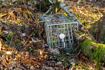 lethal: non lethal or humane steel animal trap used to catch small mammals for tagging or relocation Stock Photo