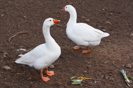 farmed: Two domestic geese often farmed for meat, eggs and down pillow feathers Stock Photo
