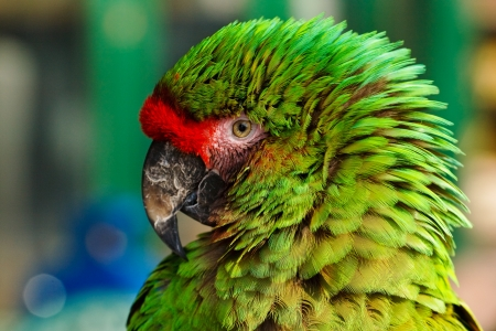 Close up of feather detail and eye on a colorful green military macaw or parrot a popular pet due to its ability to imitate human voices