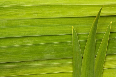 Long palm leaf detail background great symbol for tropical forests or travel to the tropics Stock Photo - 20446039