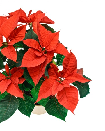 A festive christmas poinsetta plant suitable with copy space for corner or border composition photo