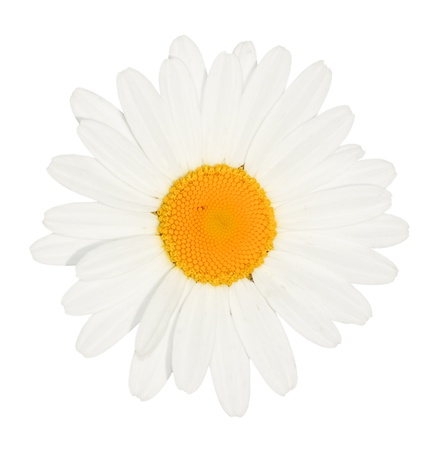 Light high key authentic photograph of a daisy flower head isolated against a white background with no blue hue to the petals photo