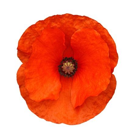 A cabeça de uma flor de papoula vermelha frequentemente associada a dias de lembrança das forças armadas isoladas contra um fundo branco