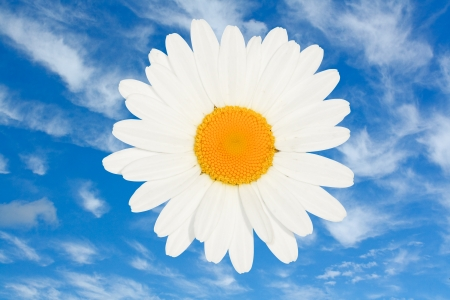 ox eye: ox eye daisy flower head isolated against a bright blue summer sky a great floral summer symbol