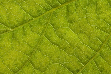 Extreme Macro of Leaf detail great background for botany or scientific biology papers Stock Photo - 20915564