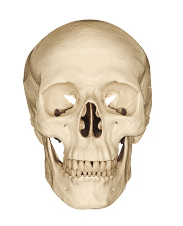 Medical model of a human skull isolated against a white background often used in colleges and universities for teaching anatomical science photo