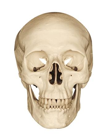squelette: Mod�le m�dical d'un cr�ne humain isol� sur un fond blanc souvent utilis� dans les coll�ges et les universit�s pour l'enseignement de la science anatomique