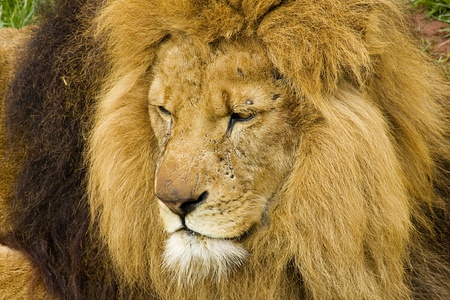 close up   head: Close up head shot of a male lion a big cat the king of the jungle, with scars from fights
