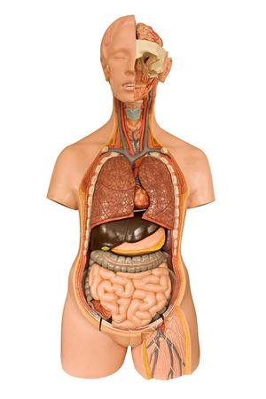 생물학 클래스에서 해부학을 배울 때 인간의 해부학 모델은 흰색 배경에 대해 의료 학생들을위한 자주 사용되는 도구를 격리 스톡 콘텐츠
