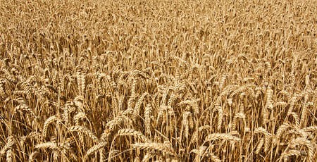 civilisation: agricultural wheat field background growing cereal for the production of grain for the domestic market Stock Photo