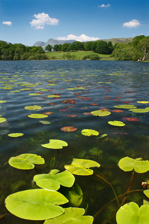 langdale: Water lillies in Loughrigg tarn a typical lake district scene on a summers day with the Langdale Mountains in the Distance Stock Photo
