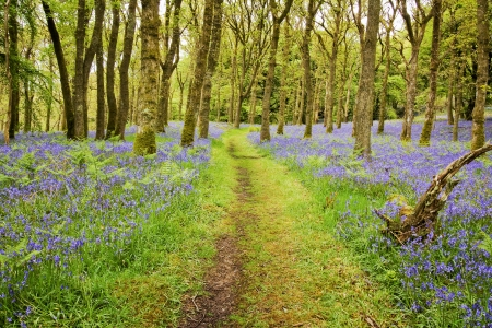 dumfries and galloway: Footpath through the middle of a carpet of Bluebells in carstramon wood near gatehouse of fleet, Dumfries and Galloway