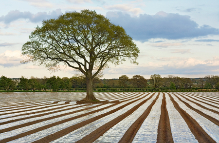 ploughed field: Lone Tree in Ploughed Agricultural field making use of agricultural plastics for modifying crop microclimates Stock Photo