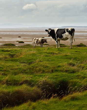 holstein cow: Cows on the Marsh at Bowness on Solway, Dumfries and Galloway can be seen in the distance  Stock Photo