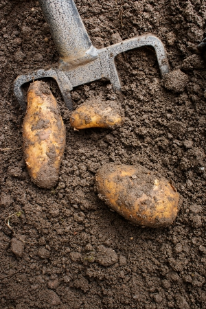 grown up: Gardener digging up fresh home grown potatoes with a garden fork ready for the kitchen table