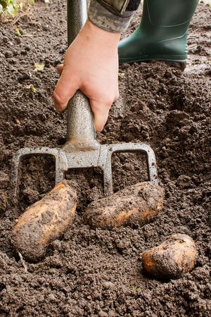 allotment: Gardener harvesting a potato crop with a garden fork.